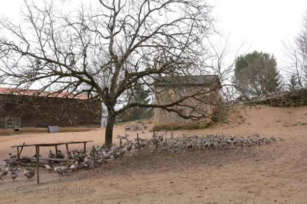 Goose farm.