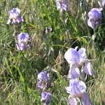 Backlit lilies.