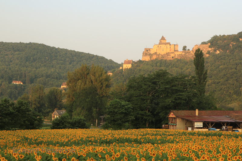 Field of sunflowers and the Chateau de Castelnaud.