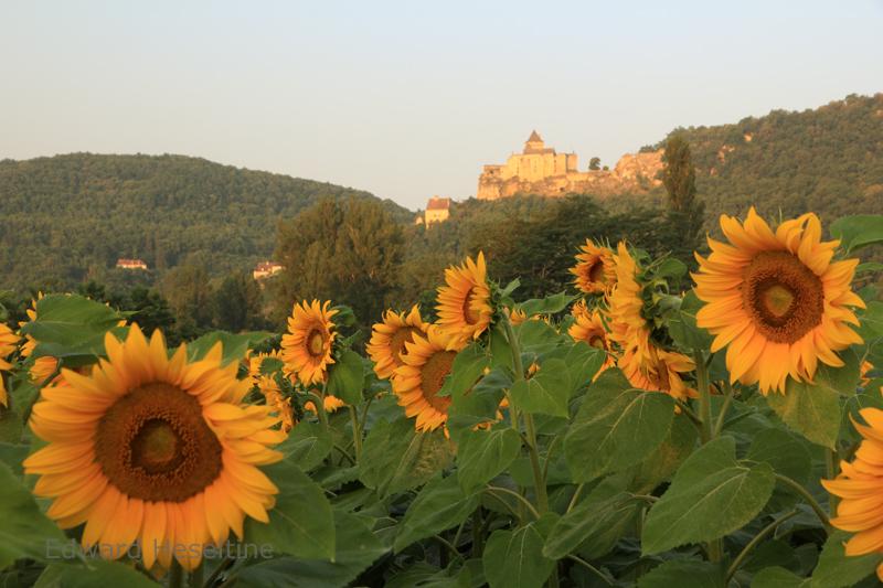 Sunflowers and Castelnaud.