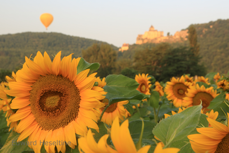 Sunflowers, Chateau de Castelnaud and hot air balloons.